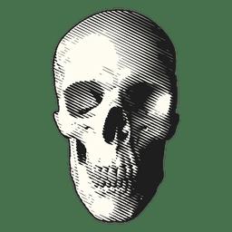 Ilustración médica cráneo
