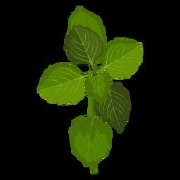 Schisandra leaves illustration