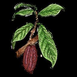 Cacao fruit branch illustration