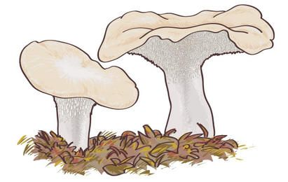Mushroom Boletus Edulis Design