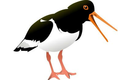 Oyster Catcher Bird clip art