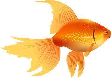 Isolated goldfish fish