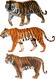 The Tiger Picture 12 Vector