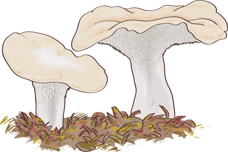 Mushroom Boletus Edulis