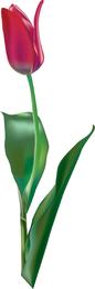 Vetor de tulipa