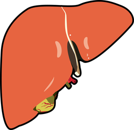Human Liver Disected