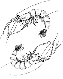 One Pair Of Lobster Vector