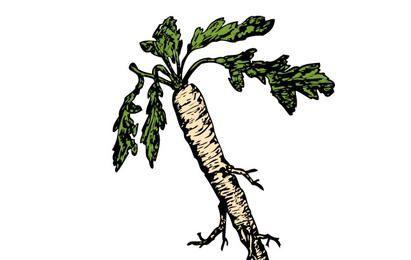 Salsify Food Plants Root clip art