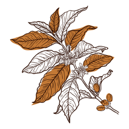 Planta de café de mão desenhada