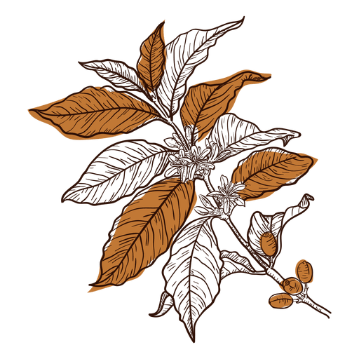 Hand drawn coffee plant Transparent PNG
