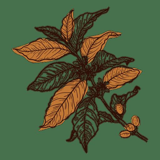 Planta de cafe dibujada a mano