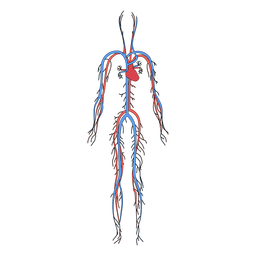 Sistema cardiovascular corpo humano sangue