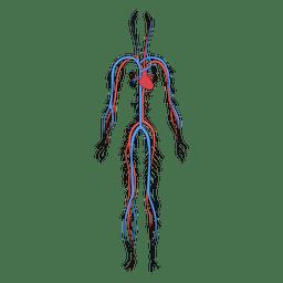 Sistema cardiovascular sangre cuerpo humano.