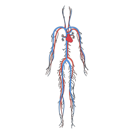 diagram of cardiovascular system