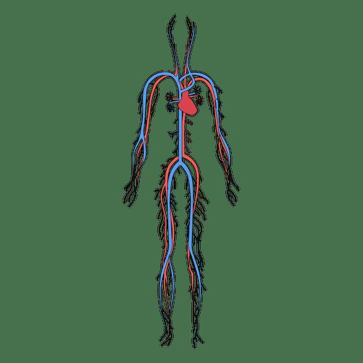 Sistema cardiovascular sangre cuerpo humano. Transparent PNG