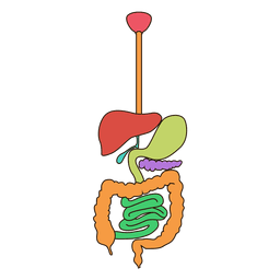 Digestive system anatomy illustration