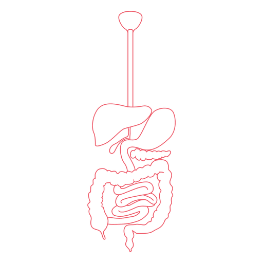 Digestive system  Food digestion human body Transparent PNG