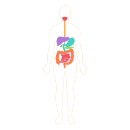 Digestive system food digestion body