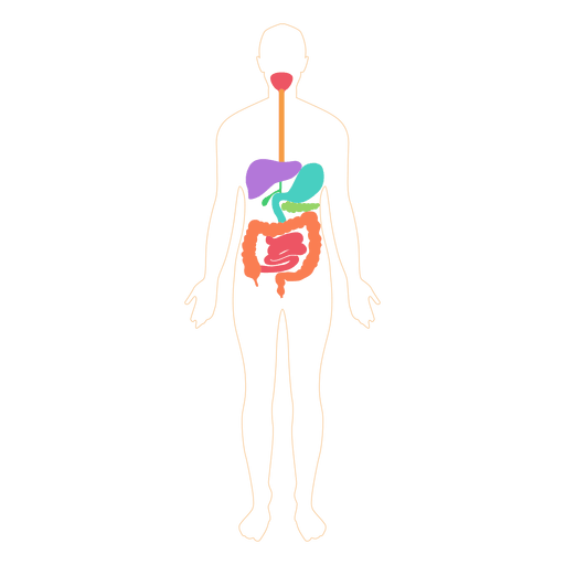 Digestive system food digestion body Transparent PNG