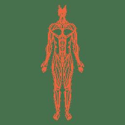 Homem de anatomia de músculos