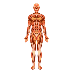 Muscular system anatomy human body