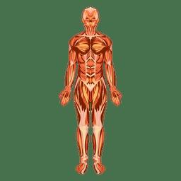 Sistema muscular anatomía cuerpo humano.