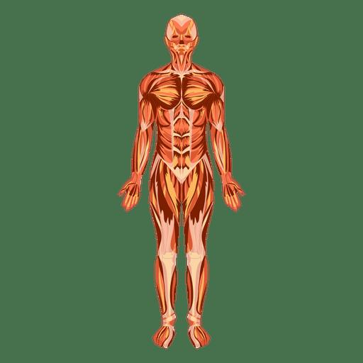 Anatomie des Muskelsystems menschlicher Körper
