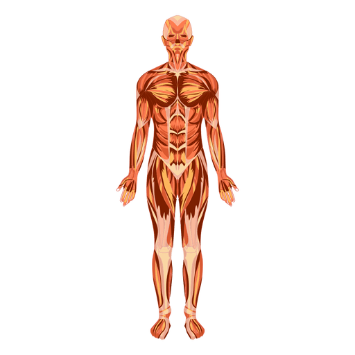 Sistema muscular anatomía cuerpo humano. Transparent PNG