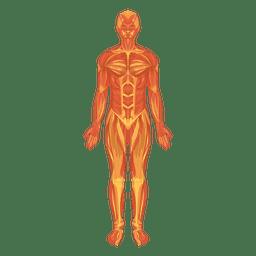 Myologia Muskelsystem menschlicher Körper