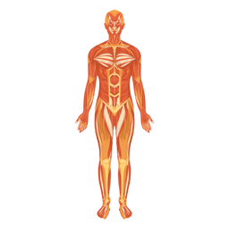 Myologia sistema muscular cuerpo humano