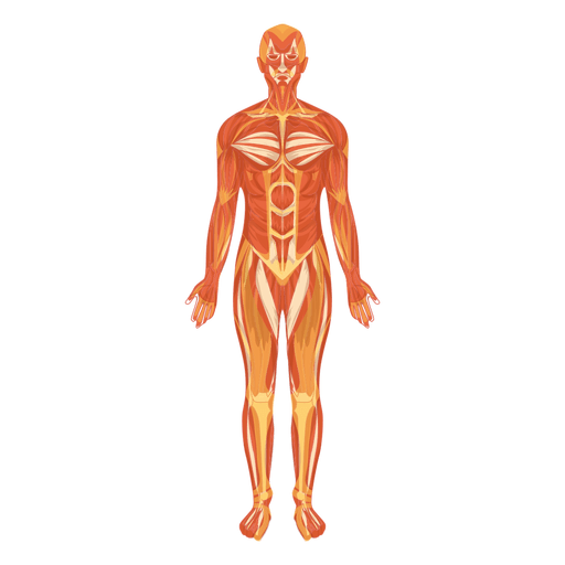 Myologia sistema muscular corpo humano Transparent PNG