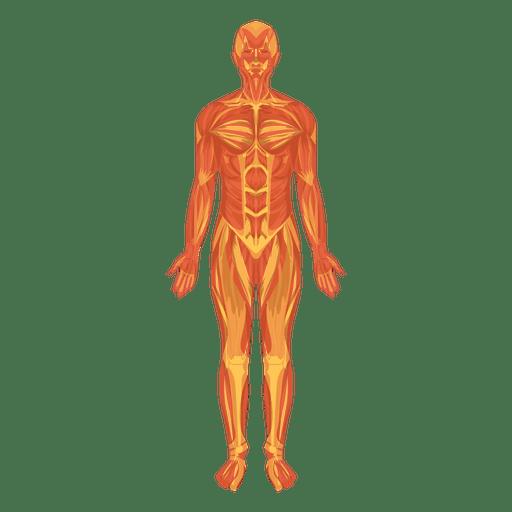Sistema musculo myologia cuerpo humano Transparent PNG