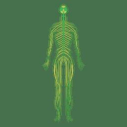 Nervios cerebro cuerpo humano