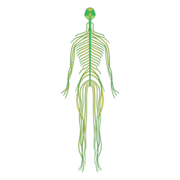 Nervos cérebro corpo humano