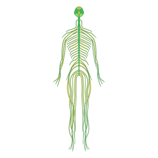 Nerves  brain human body Transparent PNG