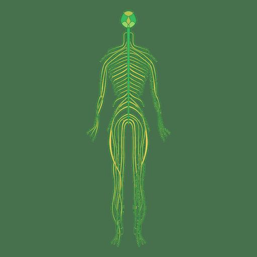 Nervios cerebro cuerpo humano Transparent PNG