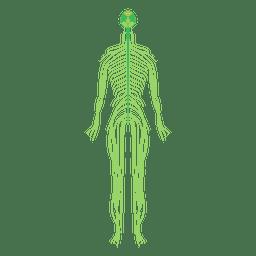 Gehirn des Nervensystems im menschlichen Körper