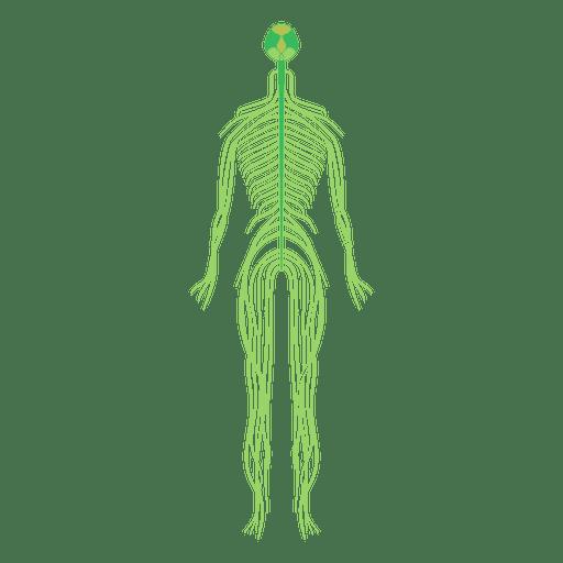Sistema nervioso cerebro cuerpo humano Transparent PNG