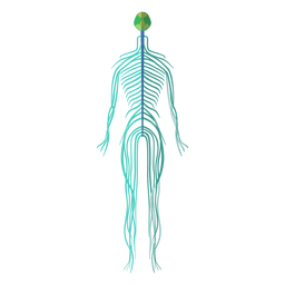 Nervensystem Gehirn Nerven menschlichen Körper