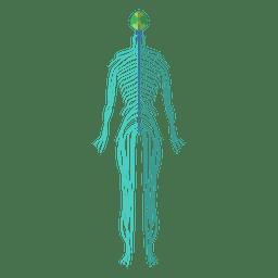 Nervos do sistema nervoso do corpo humano
