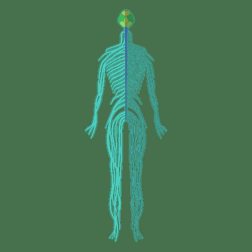Nervous system brain nerves human body Transparent PNG