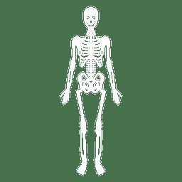 Knochen des menschlichen Körpers des Skelettsystems