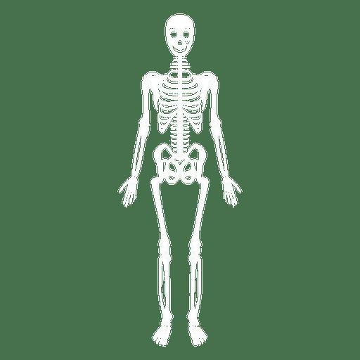 Sistema esquelético huesos del cuerpo humano Transparent PNG