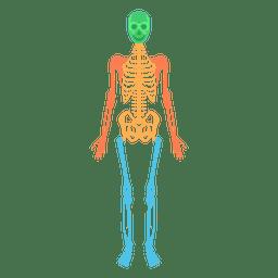 Sistema esquelético corpo humano ossos coloridos