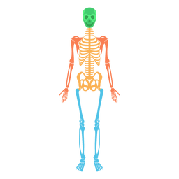 Skeletal system human body colored bones