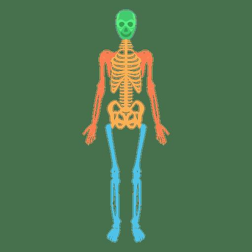Sistema esquelético corpo humano ossos coloridos Transparent PNG