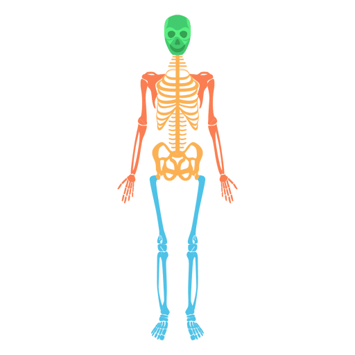 Skeletal system human body colored bones Transparent PNG