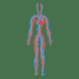 Menschlicher Körper des Blutkreislaufs der Gesundheit