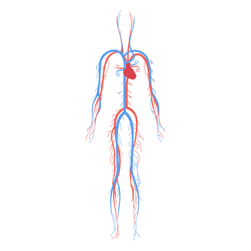 health circulatory system blood human body transparent png svg vector file health circulatory system blood human