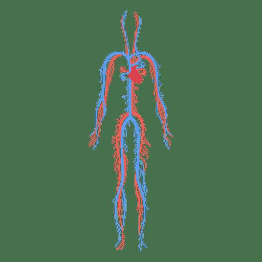 Salud sistema circulatorio sangre cuerpo humano - Descargar PNG/SVG ...